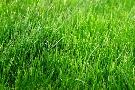 Foto de Macro toma de brotes de hierba verde brillante en primavera. Pradera verde de hierba fresca de primer plano. - Imagen libre de derechos