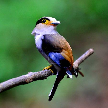 Silver-breasted Broadbill bird (Serilphus lunatus) nice perching on the branch with face turning around