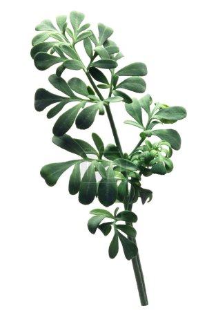 Photo pour Rue, une plante herbacée (Ruta graveolens) - image libre de droit