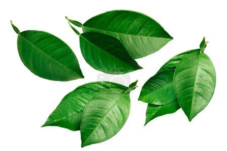 Photo for Citrus leaves (lemon, orange, grapefruit) isolated on white - Royalty Free Image