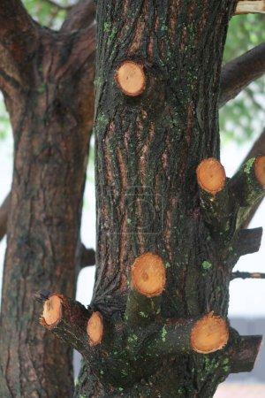 Photo pour Saule coupé les branches inférieures, il y avait des nœuds - image libre de droit