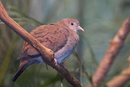 Photo pour Un perché femelle bleu colombe, Claravis pretiosa - image libre de droit