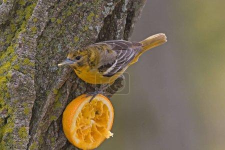 Photo pour Un Oriole de Baltimore, Icterus galbula, mangeant une orange - image libre de droit
