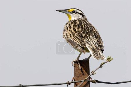 Photo pour Une Sturnella magna, Sturnella magna, sur une clôture - image libre de droit