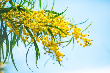 Photo for Blooming mimosa branch against the sky. Free space for text - Royalty Free Image