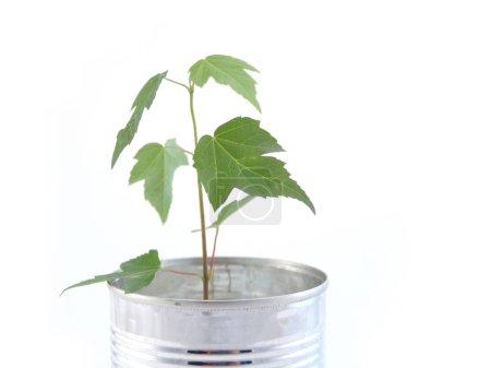 Foto de Pequeño árbol de arce en lata puede aislado sobre blanco - Imagen libre de derechos