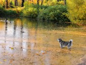 Lake in  wood or  park in Indian summer. Surface seems orange because of  fallen-down needles of larch and bright beams of sun.Gray dog stands in water and looks at ducks. Landscape.