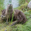 Wild otters in wild nature...