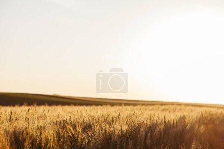 Foto de Campo de trigo en puesta del sol - Imagen libre de derechos