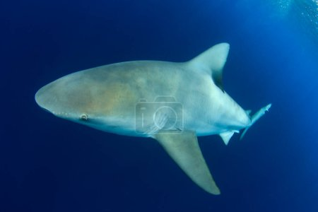 Photo for An underwater shark diving in the water - Royalty Free Image