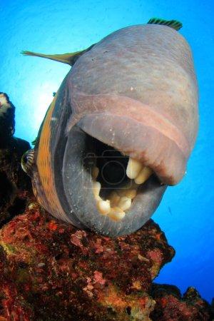 Photo pour Énorme poisson de mer dans la profondeur de l'océan - image libre de droit