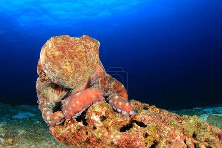 Photo pour Pieuvre dans la profondeur de l'océan - image libre de droit