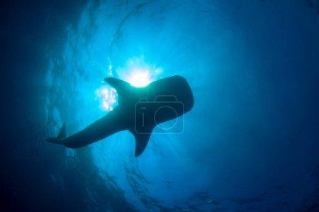 Photo pour Énorme requin dans la profondeur de l'océan - image libre de droit
