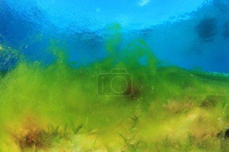 Photo pour Algues marines sur la profondeur de l'océan - image libre de droit