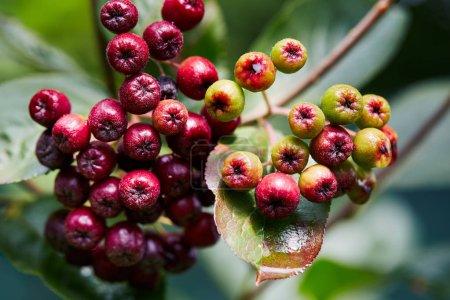 Unripe aronia berries growing in garden