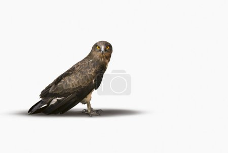 Photo for Falcon looking at camera on a white background. - Royalty Free Image