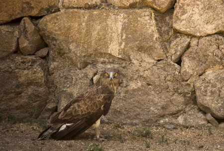 Photo for Falcon looking at camera on a rock background. - Royalty Free Image