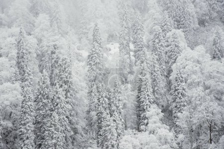 Photo for Pine trees and snow in winter landscape. - Royalty Free Image