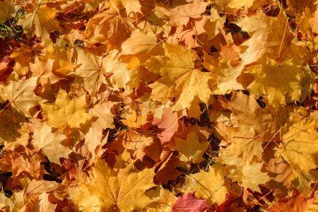 Photo pour Feuillage jaune d'érable automne feuilles fond - image libre de droit