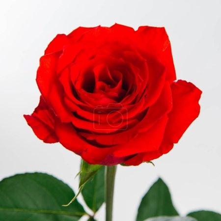 Photo pour Vue rapprochée de rose rouge fraîche isolée sur fond blanc - image libre de droit