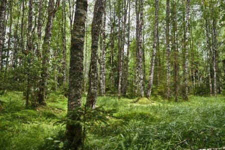 Photo pour Forêt de bouleaux en été. Feuillage vert. Beau paysage . - image libre de droit