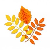 Autumn leaves (maple oak birch chestnut and other plants) of various colors Vector illustration