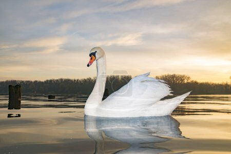 Photo for Scenic view of swan floating on lake at sunrise - Royalty Free Image