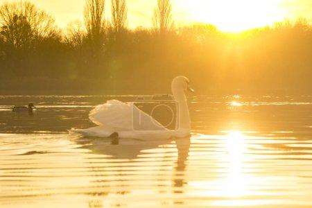 Photo pour Vue panoramique du cygne flottant sur le lac au lever du soleil - image libre de droit