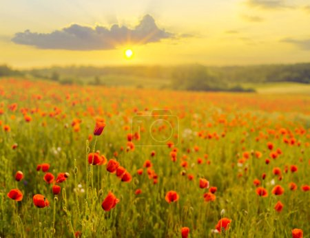 Photo for Red poppies in light of setting sun at spring - Royalty Free Image
