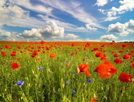 Foto de Amapola roja en pradera durante el día - Imagen libre de derechos