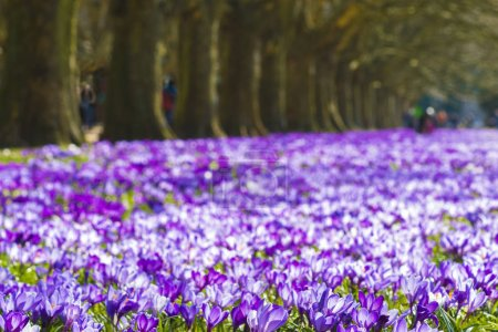 Photo for Crocus blooming in the spring in the city park - Royalty Free Image