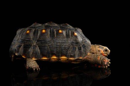 Red-footed tortoises, Chelonoidis carbonaria, Isol...
