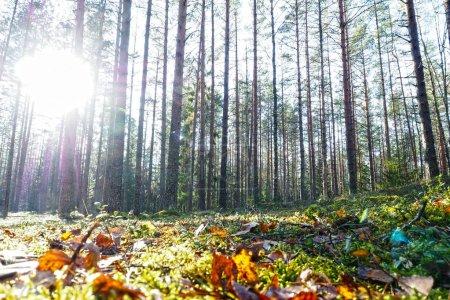 Photo pour Le paysage est conifère à l'état sauvage. - image libre de droit