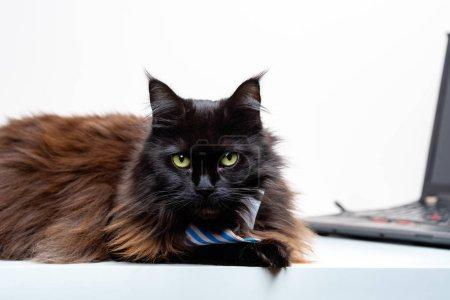 Photo pour Image du chat coon principal en cravate rayée avec ordinateur portable dans la chambre - image libre de droit