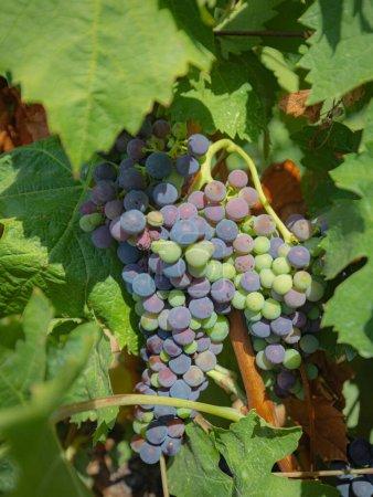 Photo pour Les vignes des vignobles de cannonau au sud de la sardinie - image libre de droit