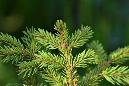 Photo for Close up of a fir branches against a green blurred ackground - Royalty Free Image