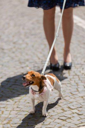 Photo pour Femme avec un Jack Russell Terrier en laisse dans la ville - image libre de droit