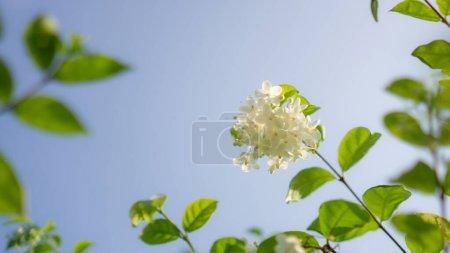 Branches of beauty petite white petals Wrightia fl...