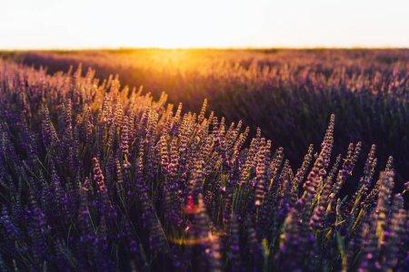 Nahaufnahme der blühenden violetten Lavendel in der Provence Landschaft zu sehen, ländlicher Anbau von aromatischen Kräutern in Ackerland, violette Blumen wachsen in Reihen im Sommer, in der Nähe der schönen Natur