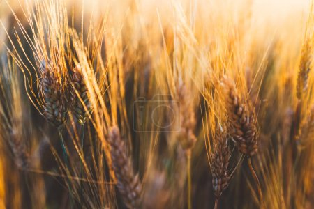 Photo for Ripening ears of wheat field at golden sunlight. Rich harvest Concept, cultivation of ecological organic food. Cereal grain which is a worldwide staple food, Rural Farming agriculture under sunlight - Royalty Free Image