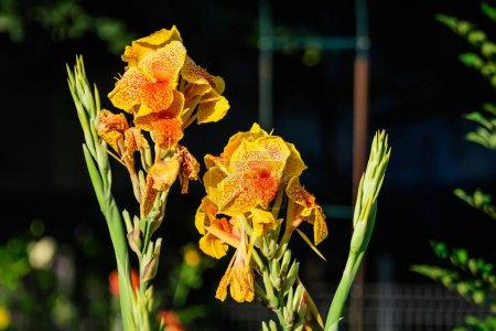 Photo pour Fleurs jaunes et rouges vives de Canna indica, communément connu sous le nom de grenaille indienne, racine d'arrow-root africaine ou violette, canna comestible ou racine d'arrow-root de Sierra Leone, au foyer doux, dans un jardin par une journée d'été ensoleillée - image libre de droit