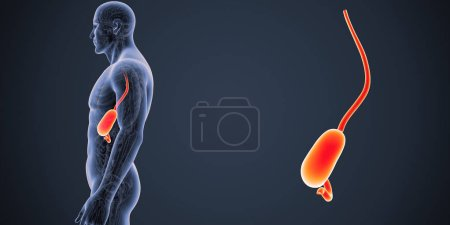 Colorful medical illustration of human male body and stomach
