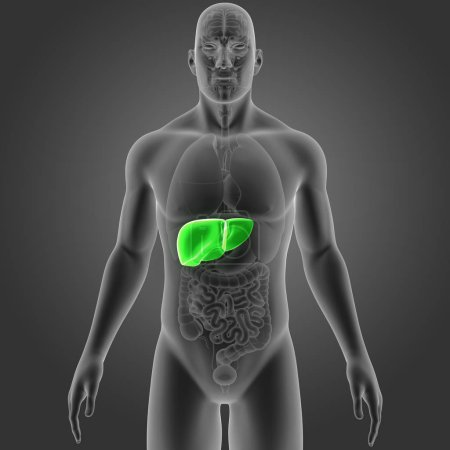 Photo pour Illustration médicale colorée du corps humain et du foie - image libre de droit