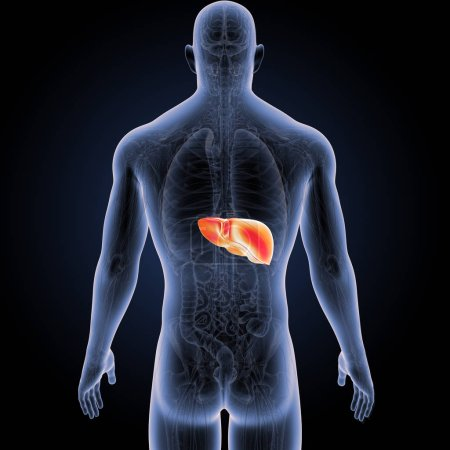 Colorful medical illustration of human body and liver