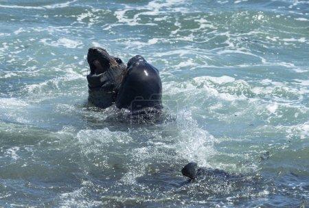 Elephant Seals at Vista Point in Piedras Blancas, California
