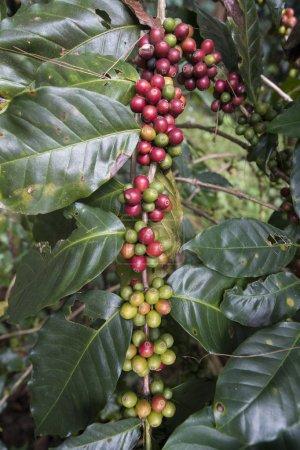 Photo pour Café fruits et haricots dans une plantation de café au parc national Phu Hin Rong Kla près de la ville de Phitsanulok dans le nord de la Thaïlande. Thaïlande, Phitsanulok, novembre 2018 . - image libre de droit