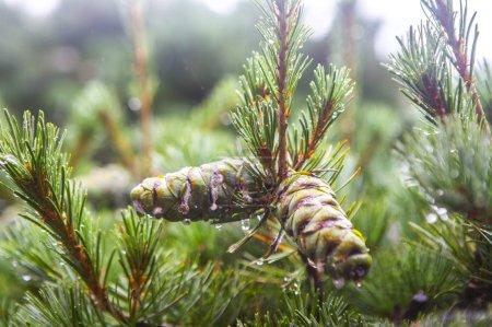 Photo pour Sapin de Noël dans la forêt d'hiver - image libre de droit