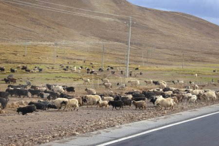 Photo for Sheep graze near the mountain - Royalty Free Image