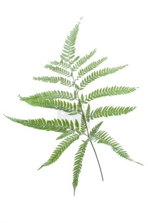 Photo for Green fern leaves isolated on white background - Royalty Free Image