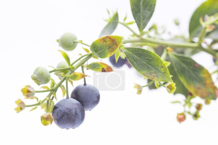Photo for Branch with purple berries isolated on a white background - Royalty Free Image